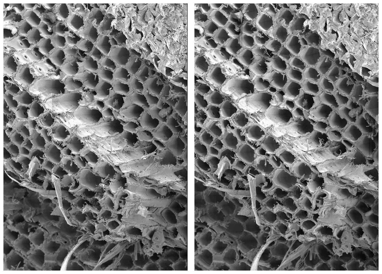 Кедр под микроскопом срез древесины